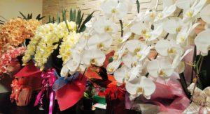 胡蝶蘭などの花